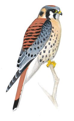 American Kestrel clipart #7, Download drawings