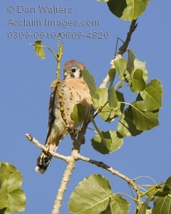 American Kestrel clipart #3, Download drawings