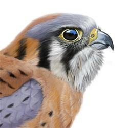 American Kestrel clipart #2, Download drawings