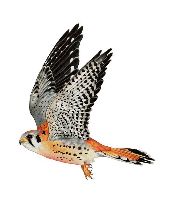 American Kestrel clipart #15, Download drawings