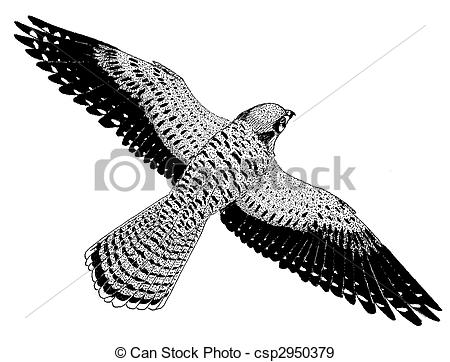 Kestrel clipart #1, Download drawings