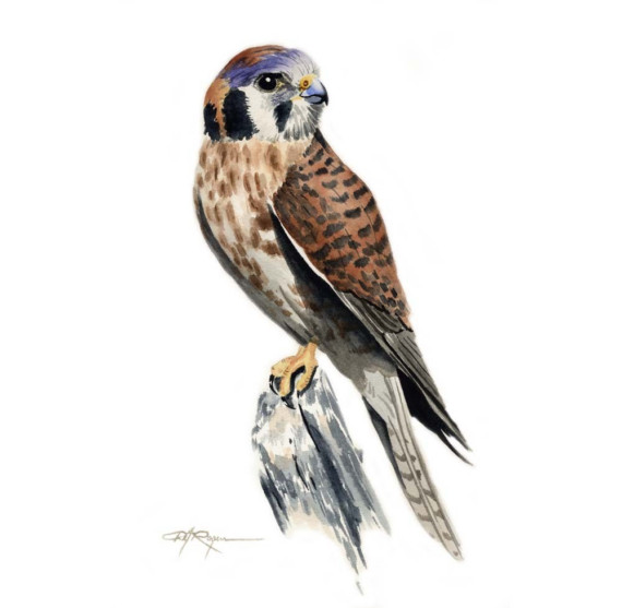 American Kestrel clipart #5, Download drawings