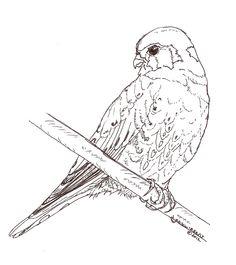 Kestrel coloring #6, Download drawings