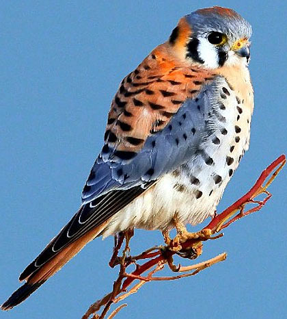 American Kestrel svg #14, Download drawings