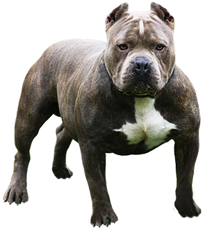 American Pit Bull Terrier clipart #8, Download drawings