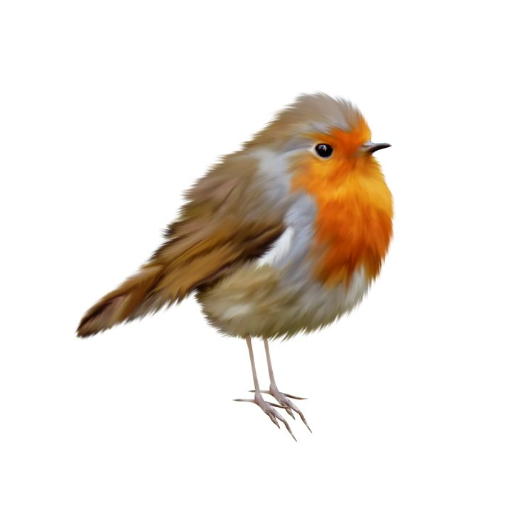 American Robin clipart #8, Download drawings