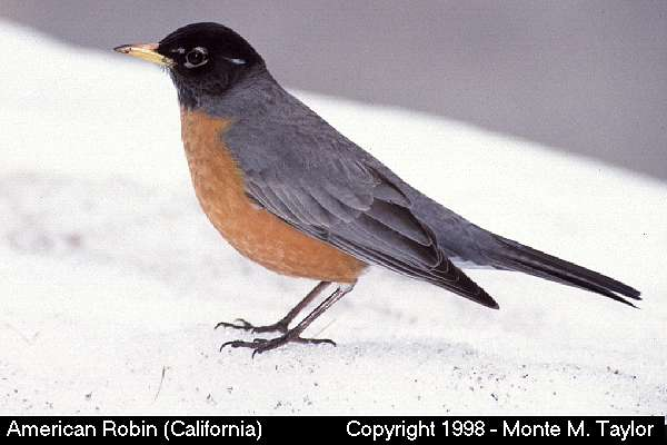American Robin clipart #12, Download drawings