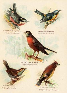 American Robin svg #18, Download drawings