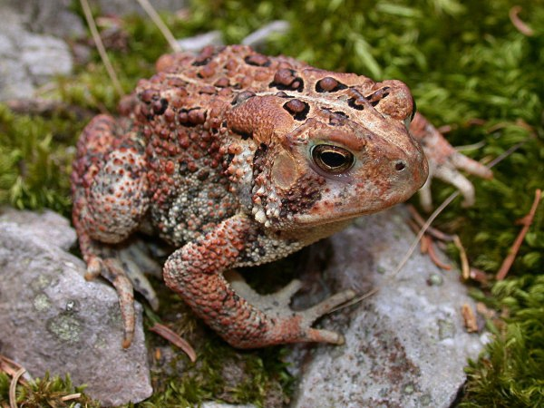 American Toad clipart #9, Download drawings