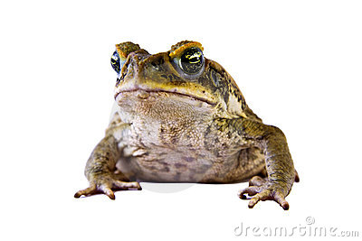 Cane Toad clipart #16, Download drawings