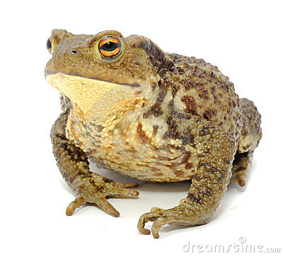 American Toad clipart #8, Download drawings