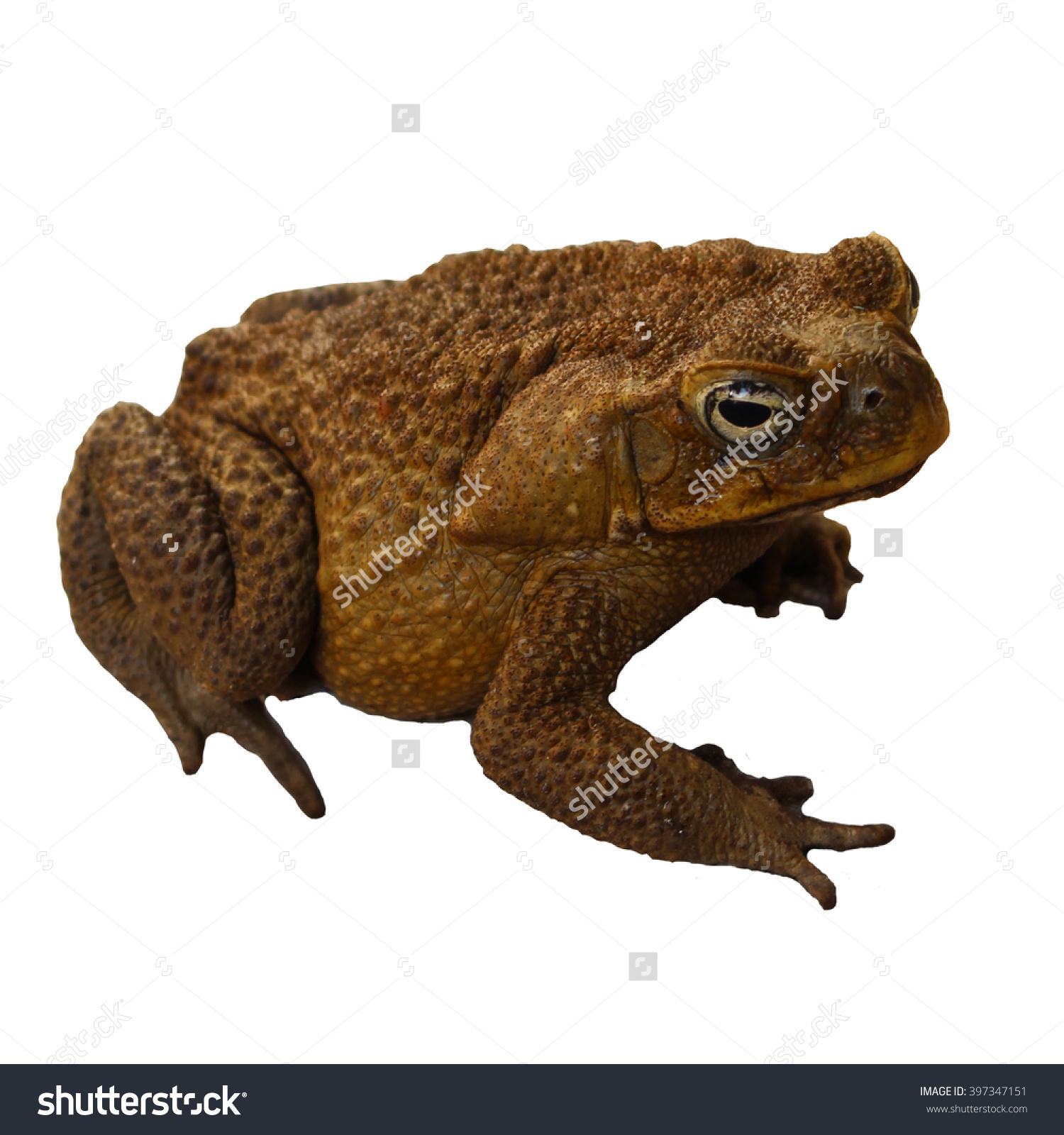 American Toad clipart #2, Download drawings