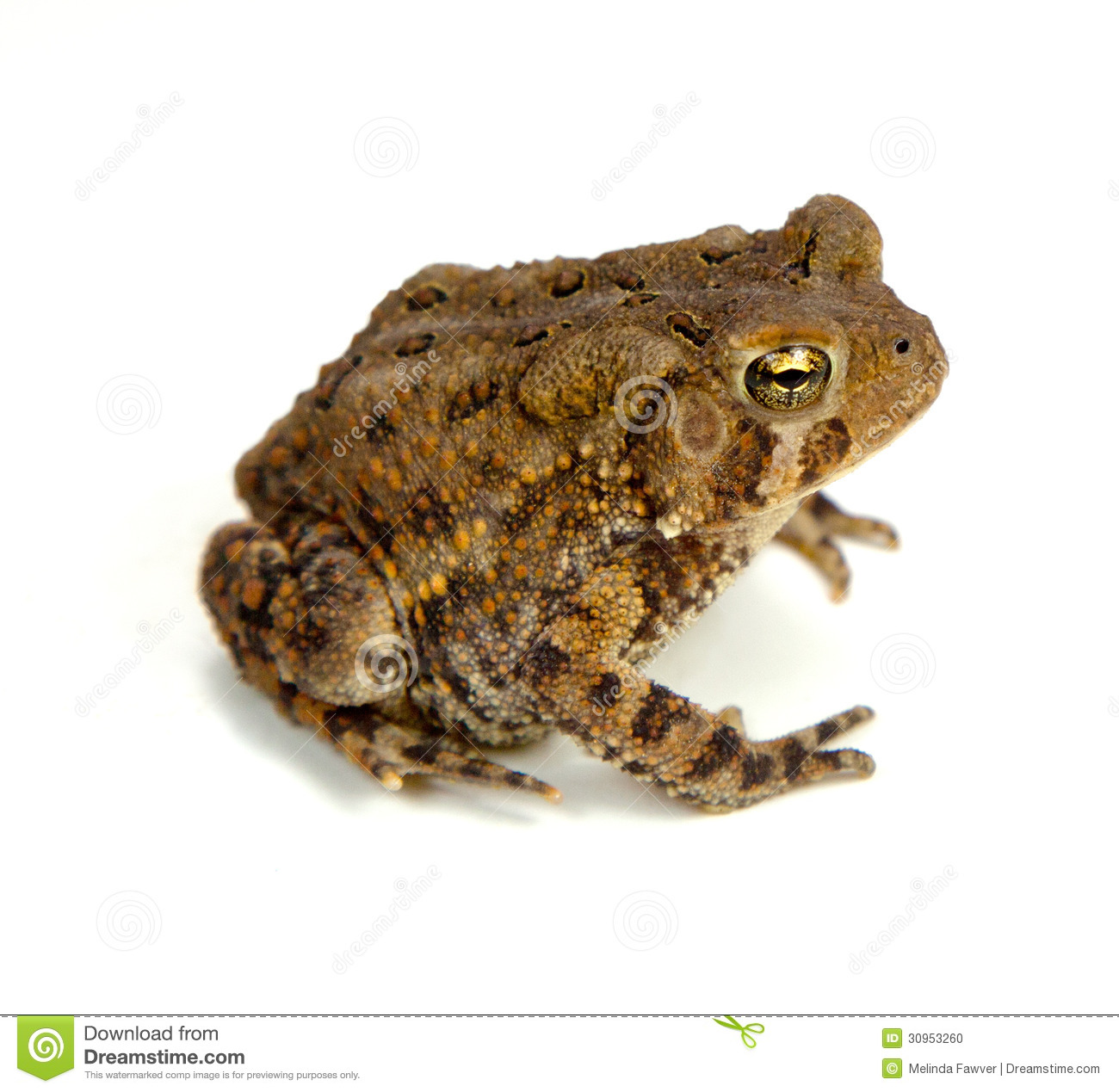 American Toad clipart #19, Download drawings