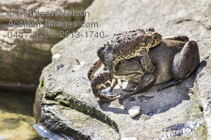 American Toad clipart #3, Download drawings