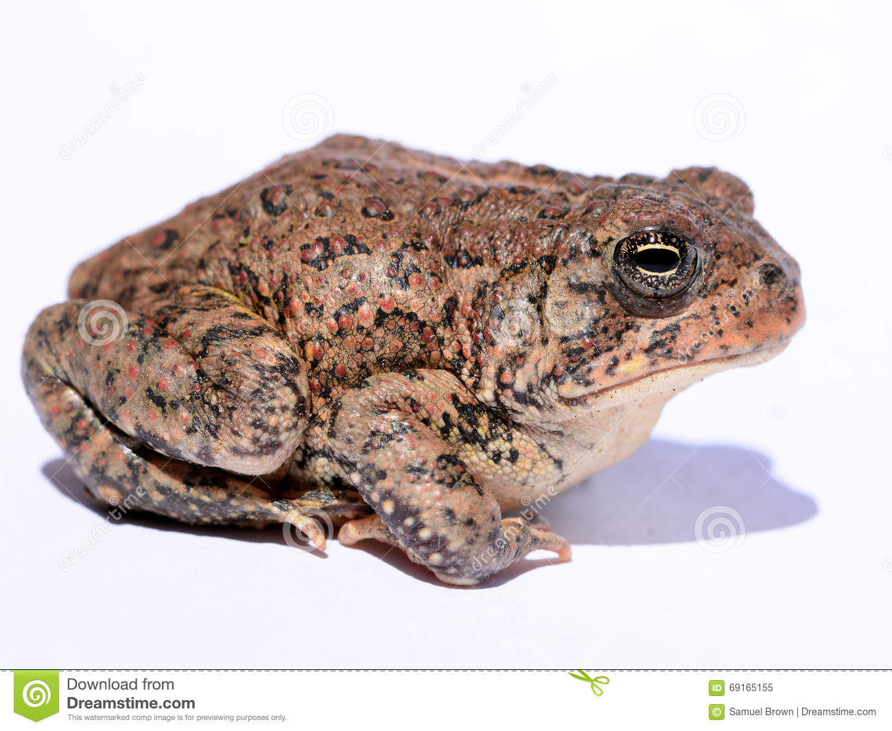 American Toad clipart #17, Download drawings