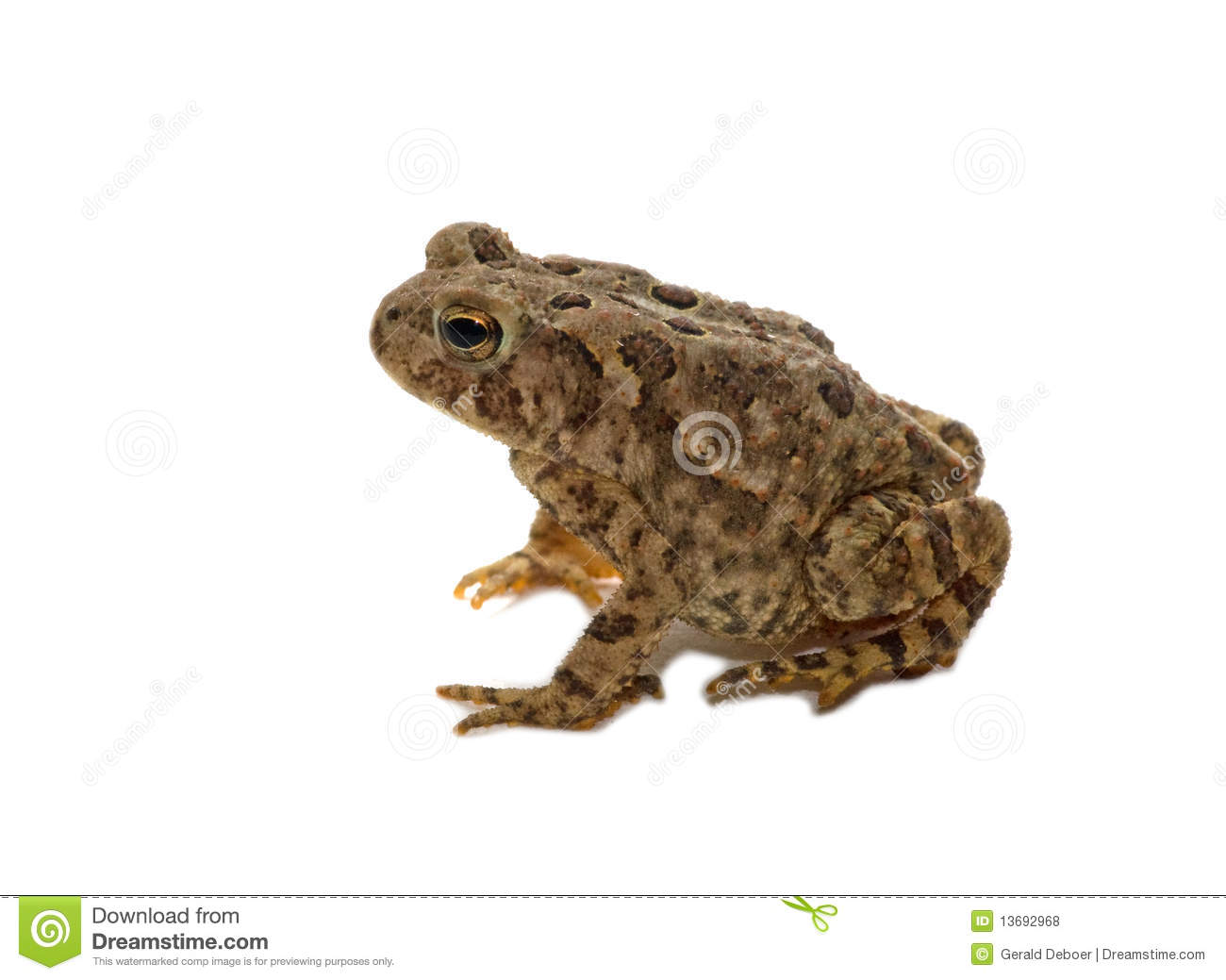 American Toad clipart #16, Download drawings