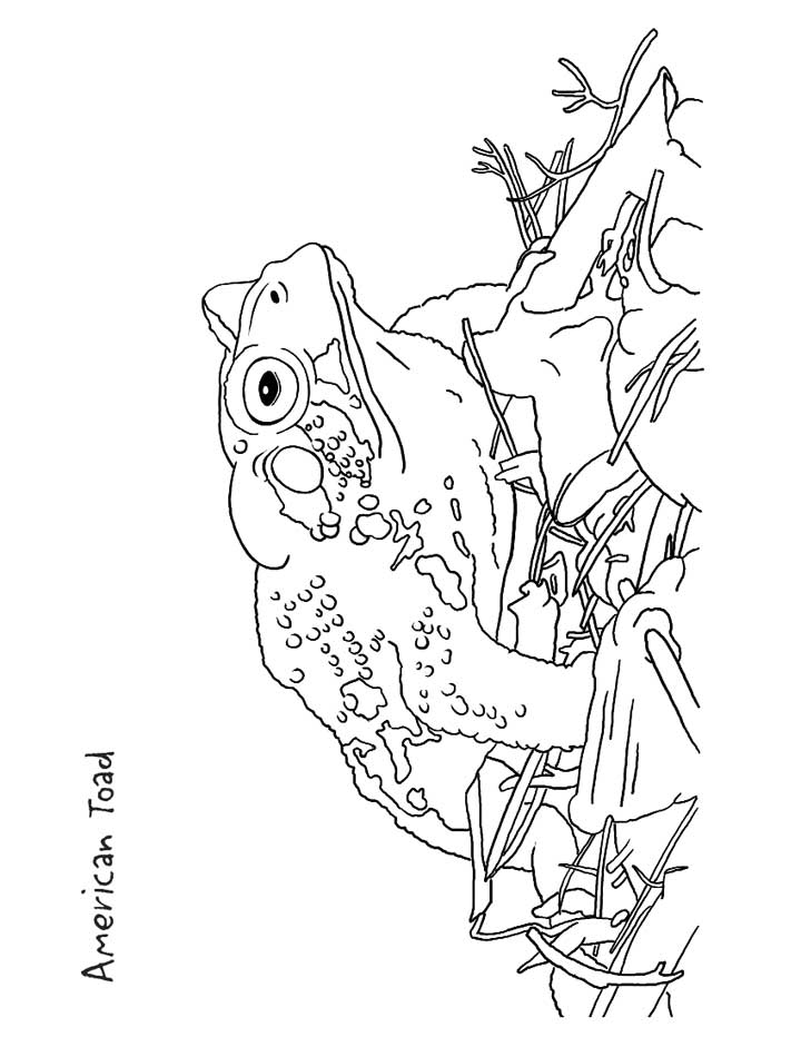 American Toad coloring #16, Download drawings