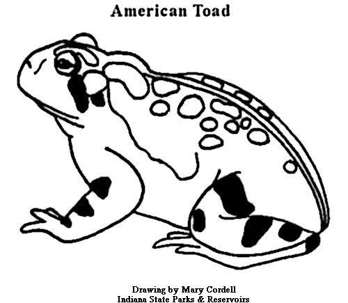 American Toad coloring #1, Download drawings