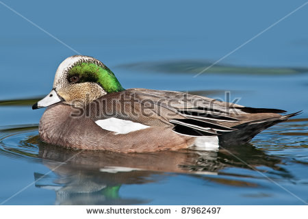 American Wigeon clipart #2, Download drawings