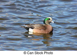 American Wigeon clipart #10, Download drawings