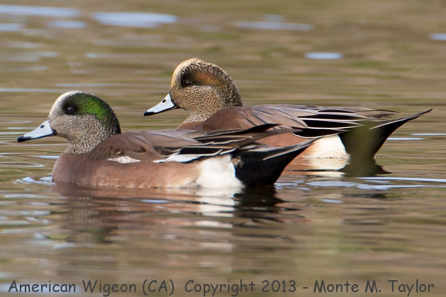 American Wigeon clipart #7, Download drawings