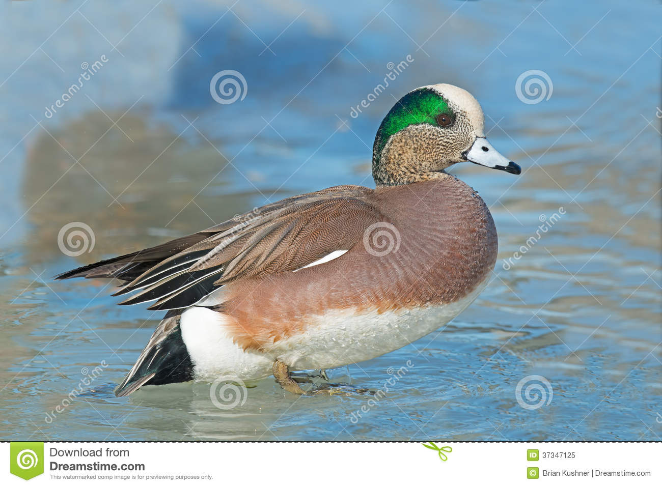 American Wigeon clipart #13, Download drawings