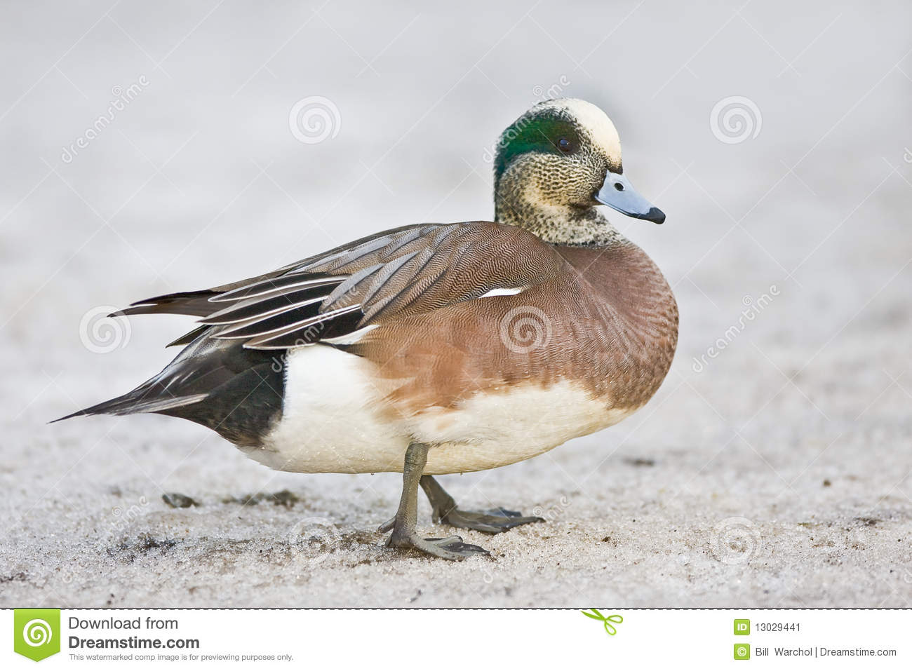 American Wigeon clipart #6, Download drawings