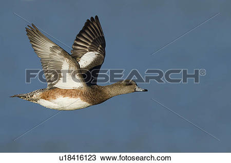 American Wigeon clipart #17, Download drawings
