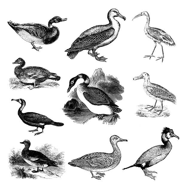 American Wigeon clipart #5, Download drawings
