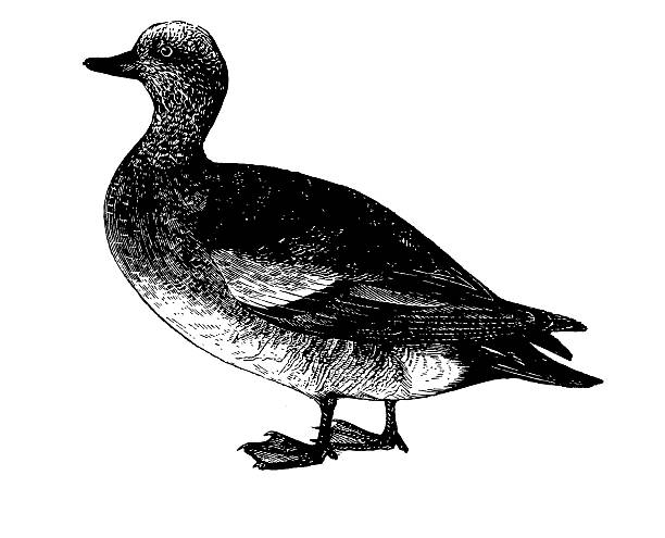 American Wigeon clipart #1, Download drawings