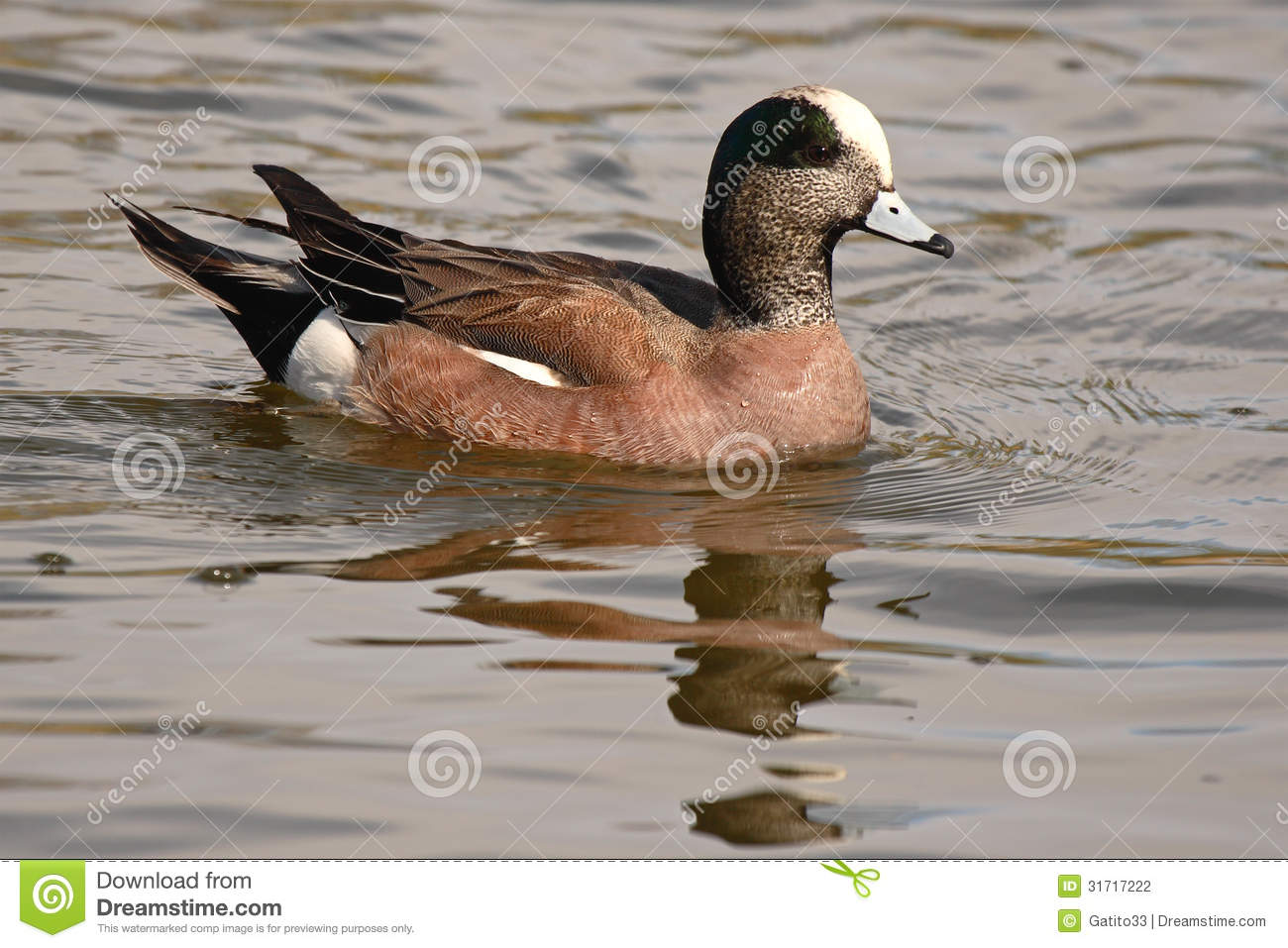 American Wigeon clipart #3, Download drawings
