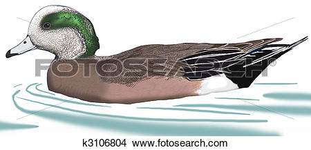 American Wigeon clipart #12, Download drawings