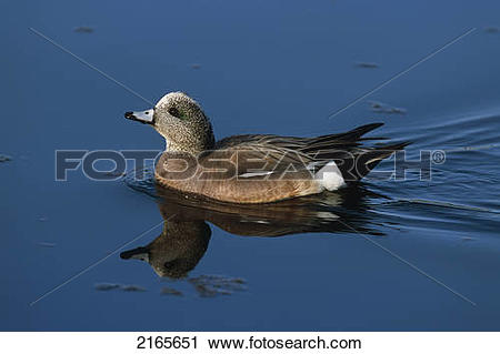 American Wigeon clipart #8, Download drawings