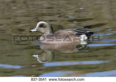 American Wigeon clipart #9, Download drawings