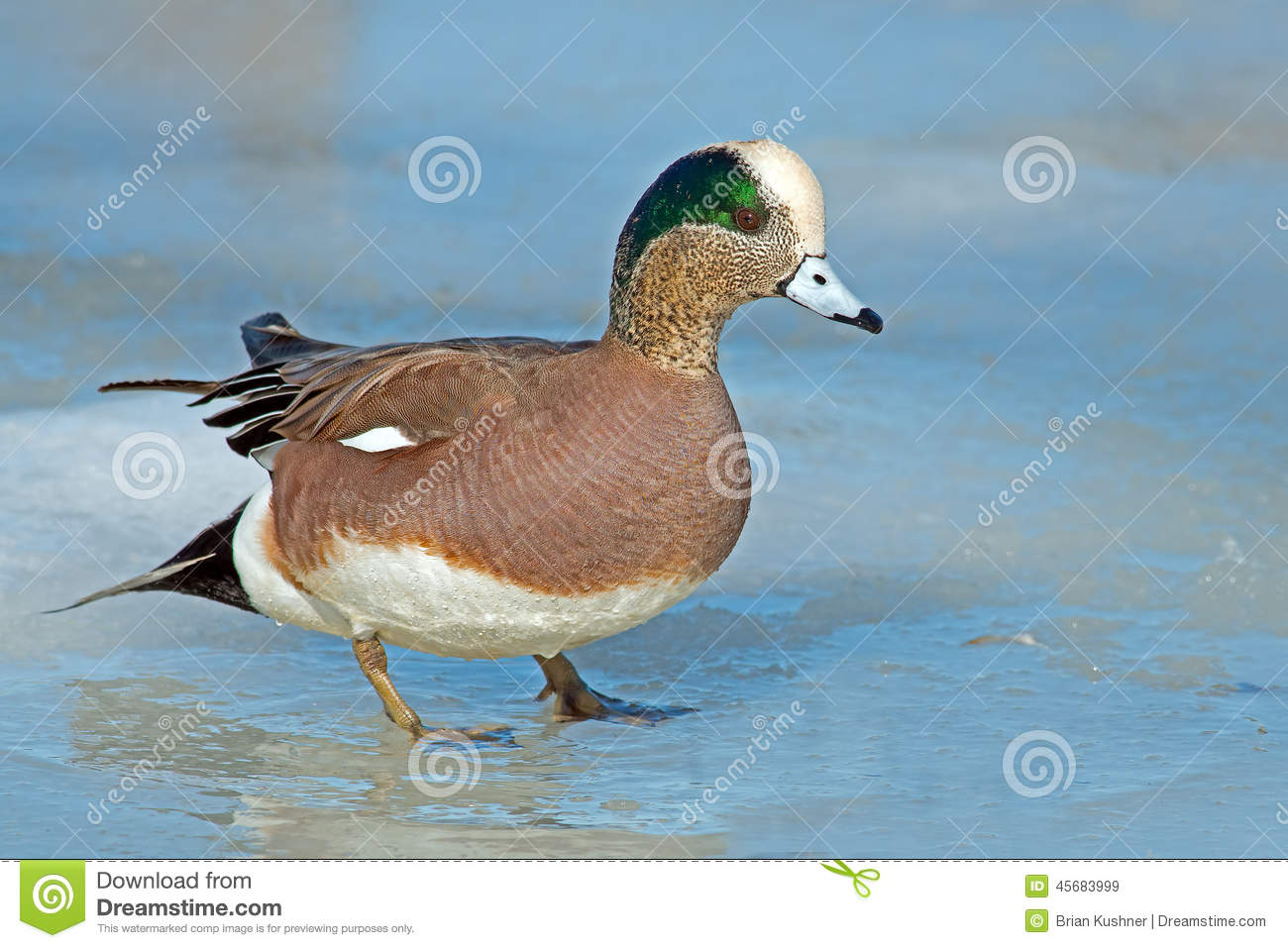 American Wigeon clipart #15, Download drawings