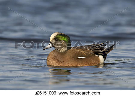 American Wigeon clipart #14, Download drawings