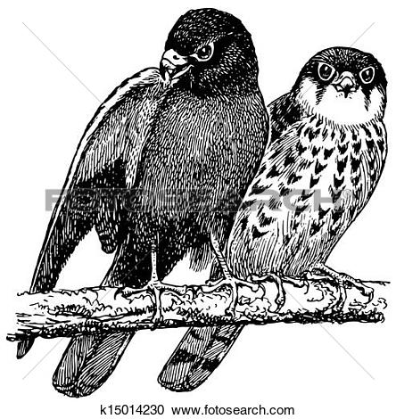 Amur Falcon clipart #17, Download drawings