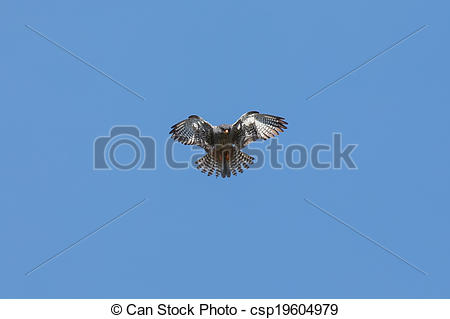 Amur Falcon clipart #14, Download drawings