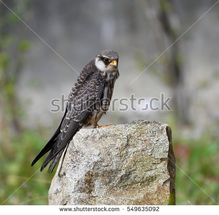Amur Falcon clipart #10, Download drawings