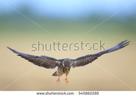 Amur Falcon clipart #1, Download drawings