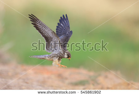 Amur Falcon clipart #9, Download drawings