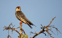 Amur Falcon clipart #6, Download drawings