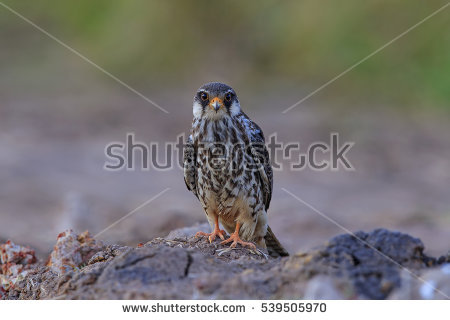 Amur Falcon clipart #4, Download drawings