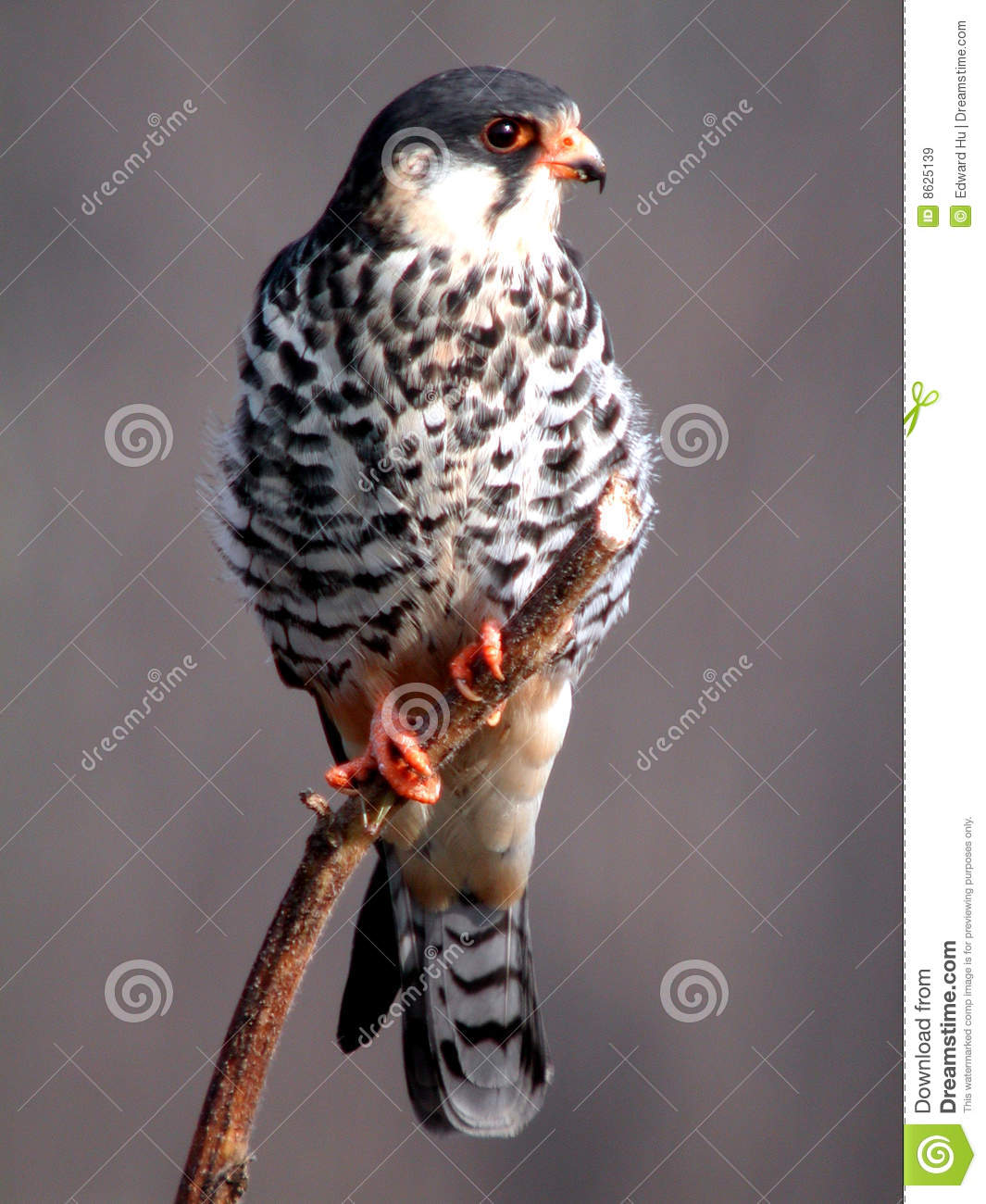 Amur Falcon clipart #5, Download drawings