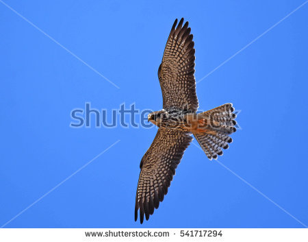 Amur Falcon clipart #3, Download drawings