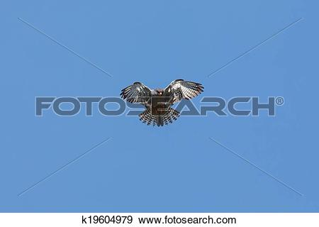 Amur Falcon clipart #19, Download drawings