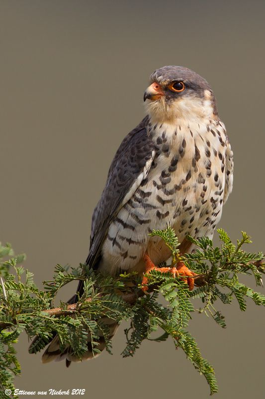 Amur Falcon clipart #2, Download drawings