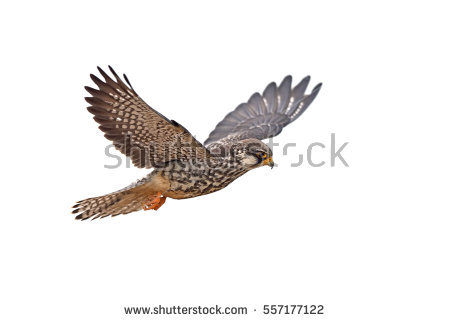 Amur Falcon clipart #20, Download drawings