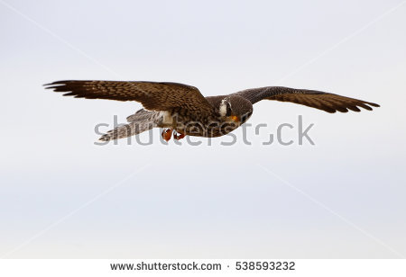 Amur Falcon clipart #18, Download drawings