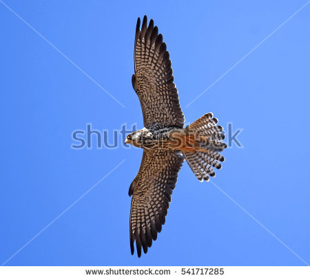 Amur Falcon clipart #11, Download drawings